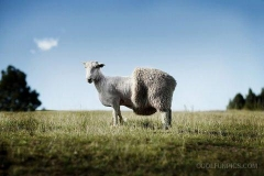 half_sheep_woolen