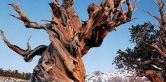 najstarije-drvo-na-svetu-v