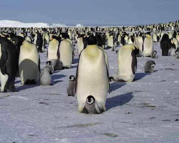 pingvin1