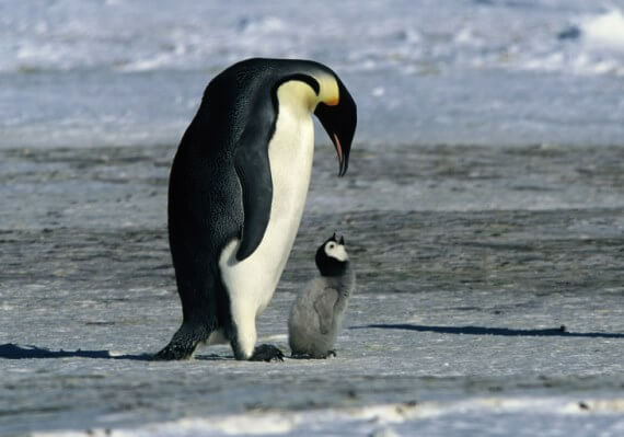 carski pingvin