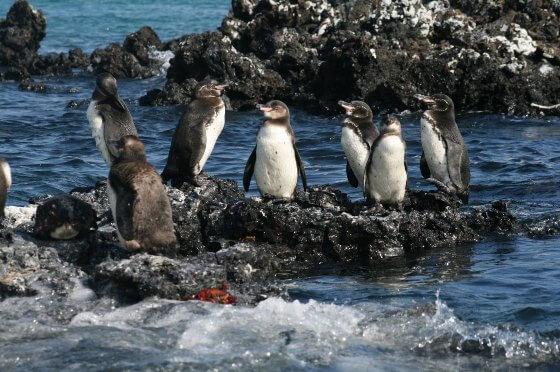 galapagos-pingvin