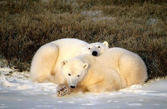 beli-medved