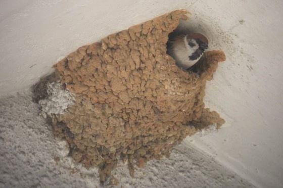vrabac-lasta