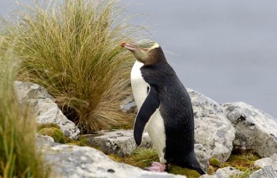 zutooki-pingvin