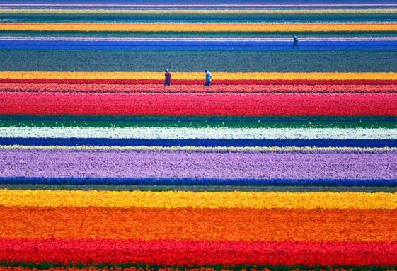 Polja lala Holandija