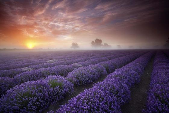 Polja lavande Engleska