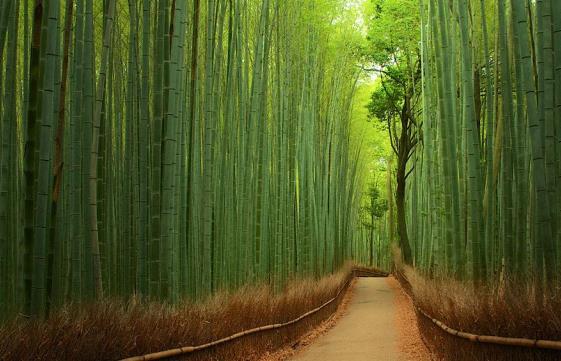 Suma bambusa
