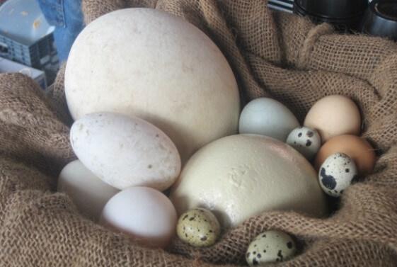 najveca jaja