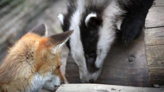 jazavac lisica