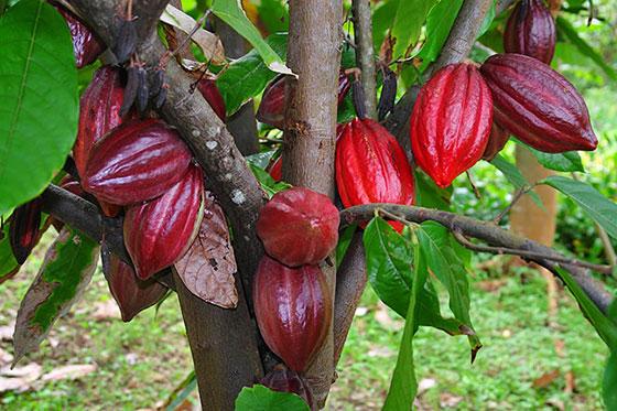 kakao drvo