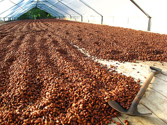kakao zrna
