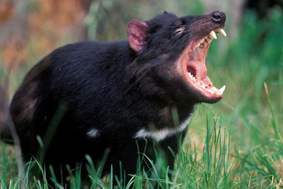 tasmanijski djavo