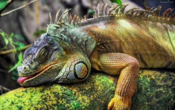 iguana 2