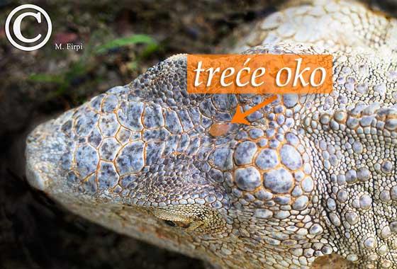 iguana trece oko