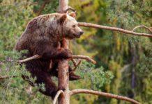 medved drvo