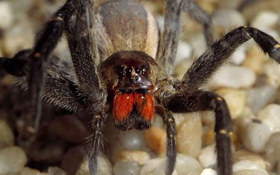 brazilski pauk