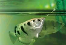 riba strelac