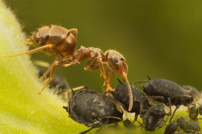Mrav i biljne vaši u simbiozi