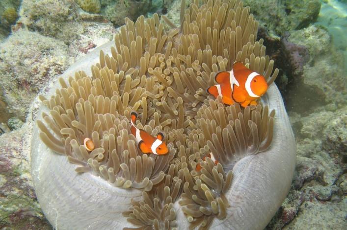 Riba klovn i morska sasa