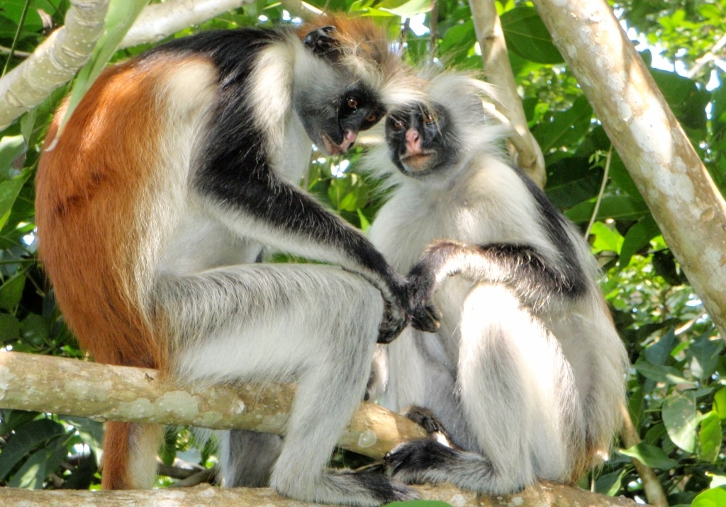 Crveni kolobus - gvereza majmuni
